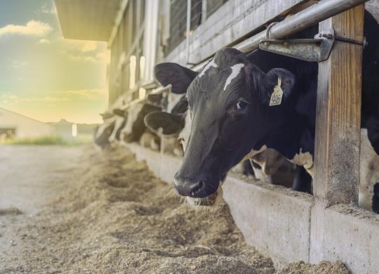 提升奶品质量之—— 加强管控饲料的霉菌污染