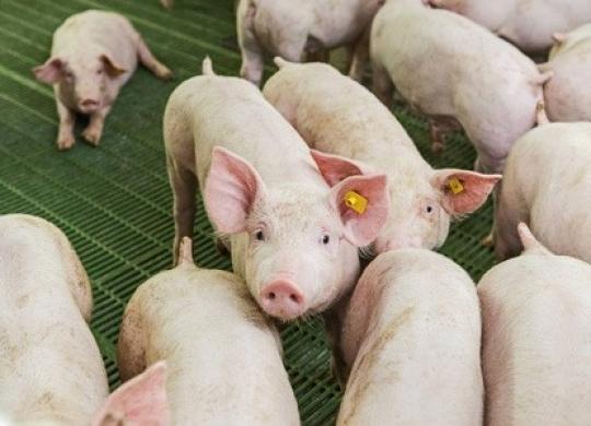 不再是最后一片净土,海南发生多起非洲猪瘟!